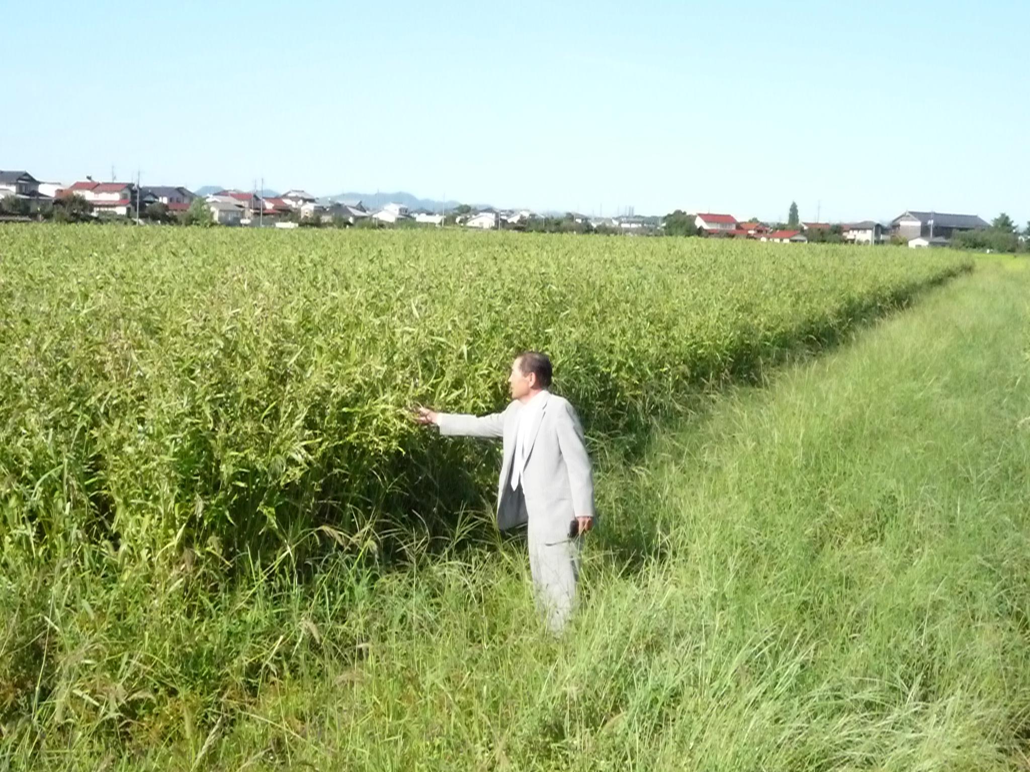 ハトムギ畑